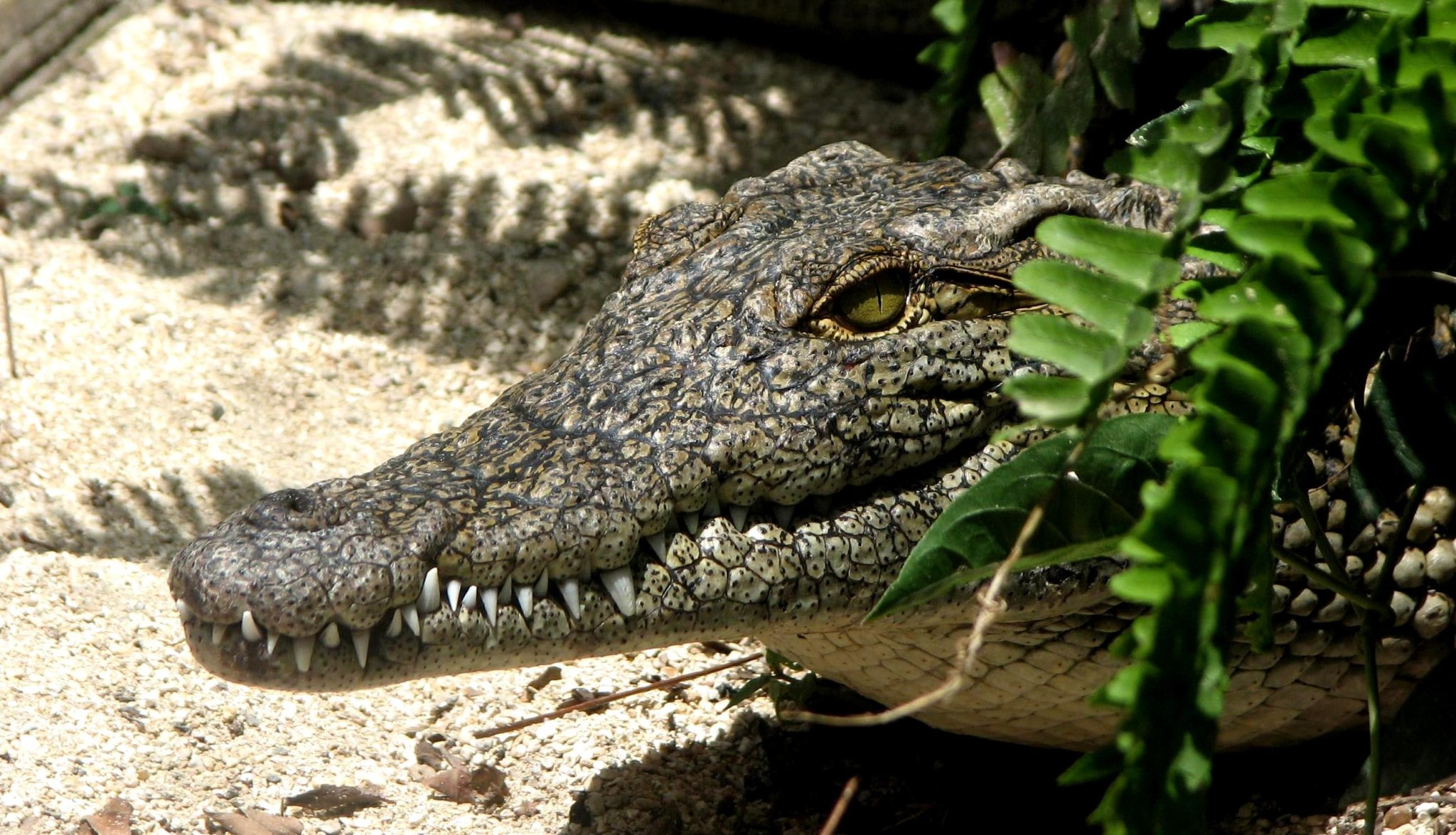 alligator-amphibian-animal-347721. pexels.com
