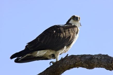 osprey-pixabay4059786_640
