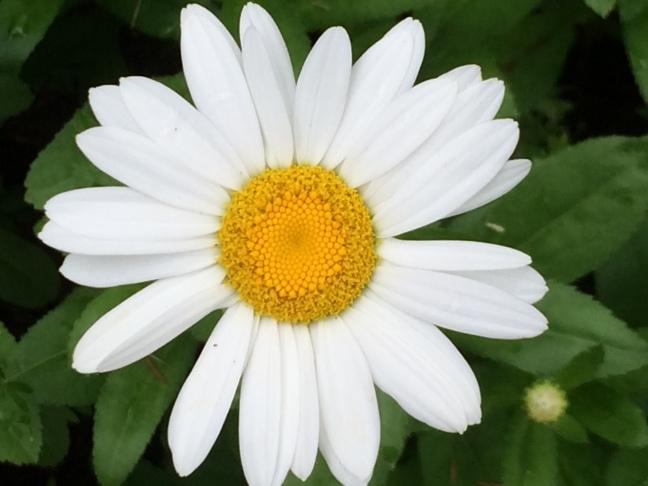 Have a Nice Daisy