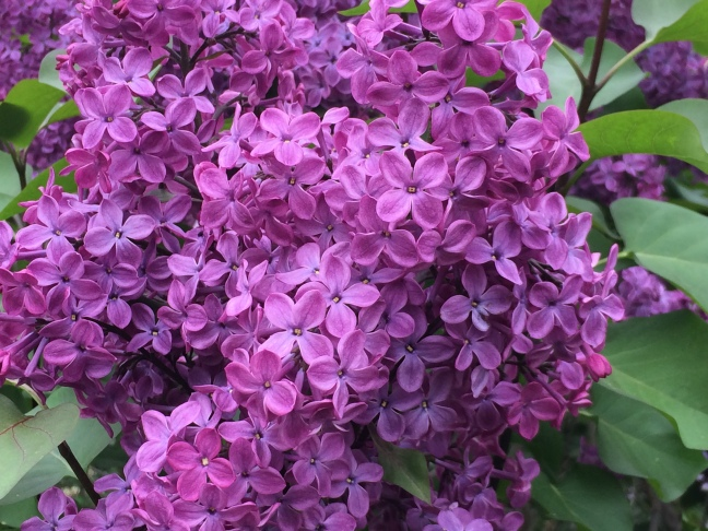 Lots of Lilacs